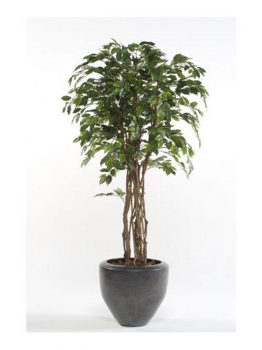 Árbol Ficus